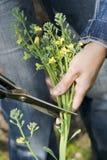 Cutting broccoli. Picking fresh broccoli in the garden Royalty Free Stock Photos