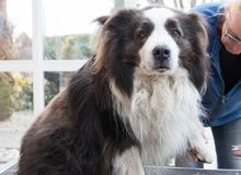 Cutting claws of Border Collie dog by professional groomer. stock image