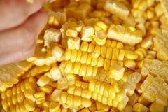 Cutting corn Royalty Free Stock Photo