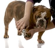Cutting dogs toenails Stock Photo