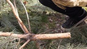 Cutting down a Christmas tree. Using saw on tree trunk. Sawing a live Christmas tree at a u-cut tree farm. HD stock video footage