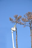 Cutting down a dead tree. A single man high up in a cherry picker, cutting down a dead pine tree against a bright blue sky Royalty Free Stock Photography