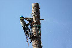Cutting down a tree. Cutting down a large tree. Tree removal occupations. Tree trimming dangerous jobs series Stock Photography