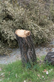 Cutting down trees. Rest of chopped down tree Stock Images