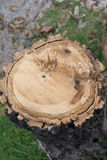 Cutting down trees. Rest of chopped down tree Royalty Free Stock Photography
