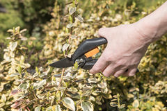 Cutting Euonymus fortunei by scissors Stock Images