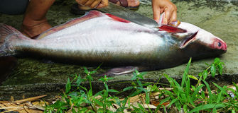 Cutting fish. Cutting Pangasius fish for cooking in Thailand Stock Photos