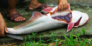 Cutting fish. Cutting Pangasius fish for cooking in Thailand Stock Image
