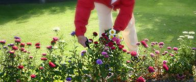 Cutting flowers, gardening. Woman pensioner in red jacket cutting flowers in garden, gardening stock photos