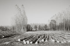 Cutting a forest of poplars.   In black and white Royalty Free Stock Images