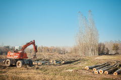 Cutting a forest of poplars. Cutting a forest of poplars: poplars file cut and cranes to move them Stock Images