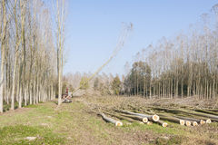 Cutting a forest of poplars. Stock Photo