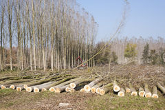 Cutting a forest of poplars. Stock Images