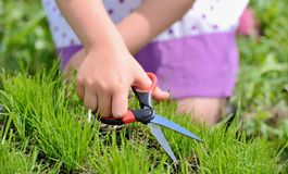 Cutting fresh grass with a pair of scissors Royalty Free Stock Photo