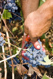 Cutting grapes Royalty Free Stock Images