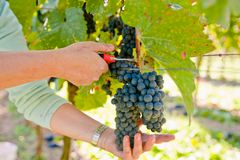 Cutting Grapes Royalty Free Stock Photography