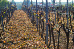 Cutting the grapes. Wine grapes cut in autumn Royalty Free Stock Photos