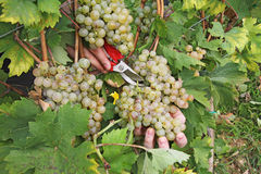 Cutting grapes Royalty Free Stock Photos