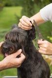 Cutting hair on the dog's ears Stock Photography