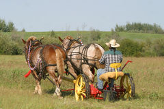 Cutting hay 2. A farmer in rural Alberta  works cutting hay with a team of horses Stock Image