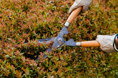 Cutting a hedge Royalty Free Stock Photography