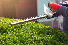Cutting a hedge with electrical hedge trimmer. Selective focus Stock Images