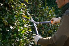 Cutting hedge with scissor, winter pruning stock image