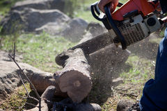 Cutting holm oak firewood with a chainsaw Stock Image