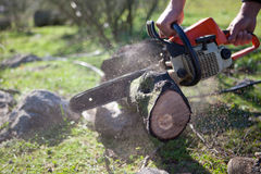 Cutting holm oak firewood with a chainsaw Royalty Free Stock Images