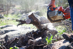 Cutting Holm Oak Firewood With A Chainsaw Royalty Free Stock Image
