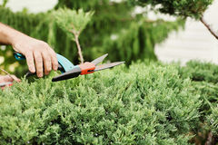 Cutting juniper. Someone trimming bushes with garden scissors. C Royalty Free Stock Photography