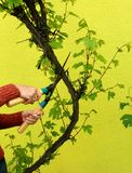 Cutting the large grape branch Stock Images