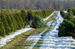 Cutting a live tree at a Christmas tree farm Royalty Free Stock Image