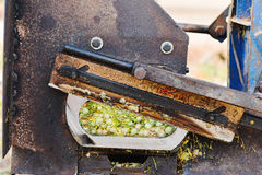 Cutting machine cutting dry tobacco leaves. Dry tobacco leaves in cutting machine,  cutting process Stock Images