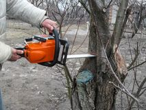 Cutting off branches of a diseased tree with chainsaw in the garden. Male hands hold a chainsaw and saw off the trunk of apricot. Tree in the spring or autumn royalty free stock images
