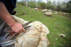 Cutting off sheep fleece Royalty Free Stock Photos