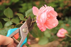 Cutting of an old pink rose with a secateur Stock Image