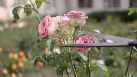 Cutting red roses in the garden stock video footage