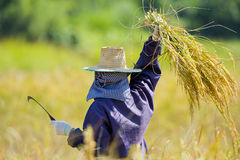 Cutting rice in the fields Stock Images