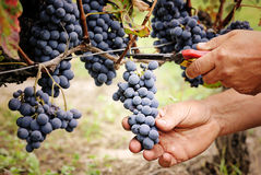 Cutting ripe grape Royalty Free Stock Photo
