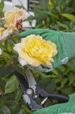 Cutting rose Royalty Free Stock Photos