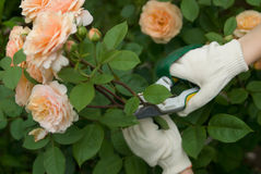 Cutting a roses. Hands in white gloves cutting a rose bush royalty free stock photos
