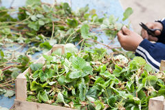Cutting strawberry seedlings Stock Images