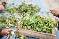 Cutting strawberry seedlings Stock Photos