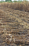 Cutting sugar cane is burned. Causing global warming royalty free stock photography