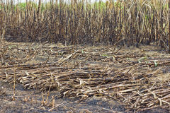 Cutting sugar cane is burned. Causing global warming stock photo