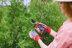Cutting thuja branches Stock Photos
