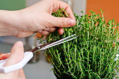 Cutting thyme Royalty Free Stock Photo