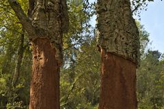 Cutting to extract the cork in the forest. Cut to extract the cork in a cork tree Royalty Free Stock Photography