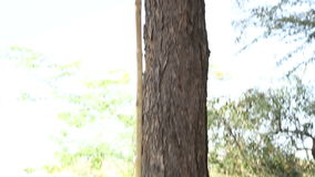 Cutting tool standing by a tree and man climbing through treetop. stock footage
